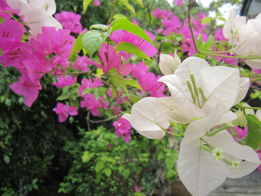 Mẹo giúp hoa giấy không bao giờ vàng lá, nở hoa quanh năm