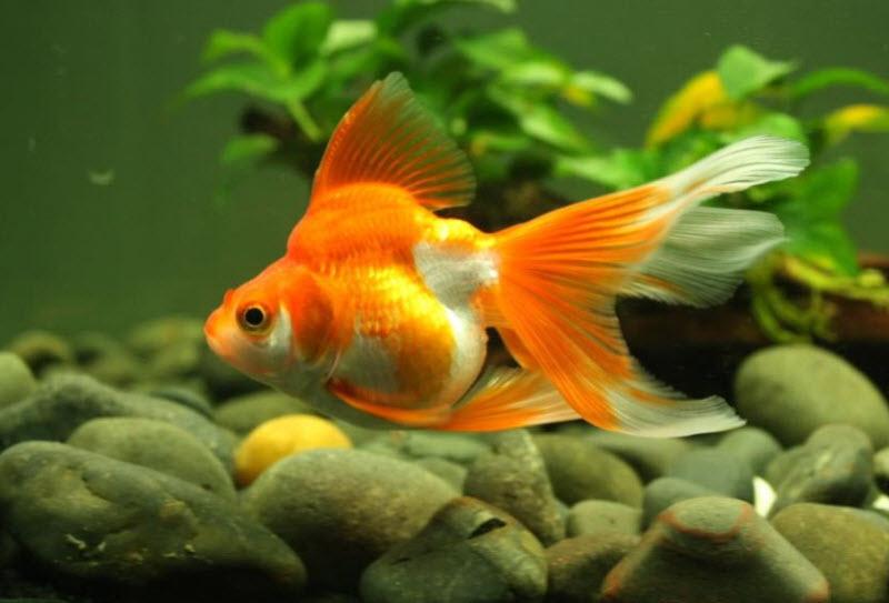 Mơ thấy cá tung tăng bơi lội may mắn