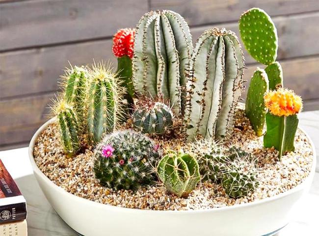 Không trồng cây xương rồng trong nhà