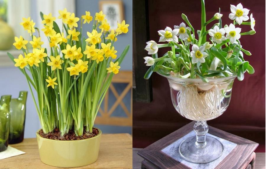 Cây hoa thủy tiên có độc tố ảnh hưởng sức khỏe