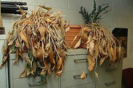 Để cây chết khô trong nhà tán lộc