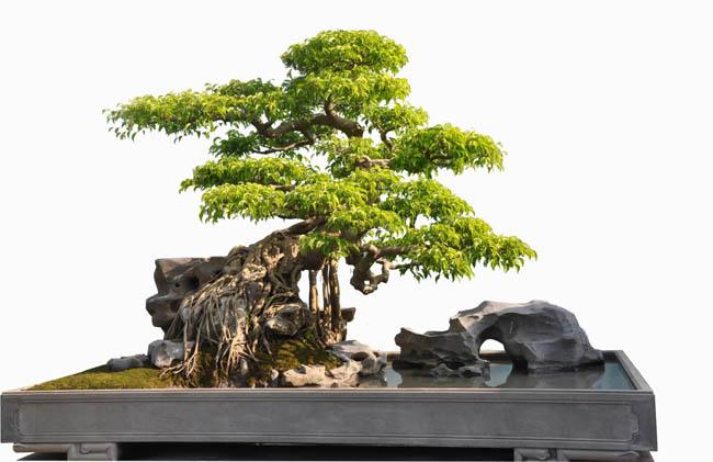 Tuy nhiên 1 người được giới chơi cây gọi là bậc thầy là họa sĩ Đặng Xuân Cường (Thanh Xuân - Hà Nội) được nhiều người biết đến thông qua việc sáng tác qua siêu phẩm