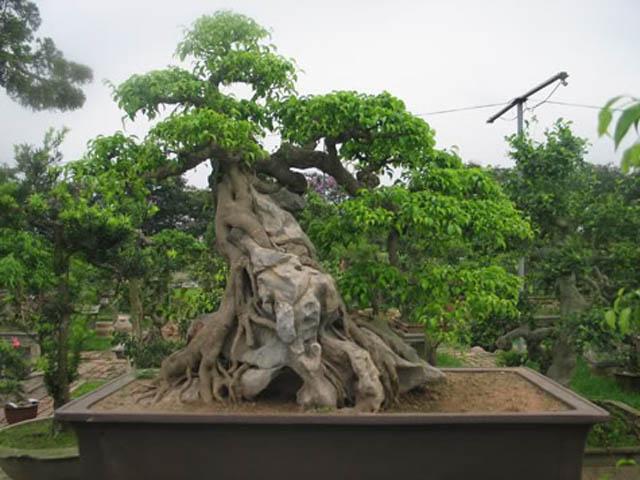 Có nhiều người buôn cây cho rằng cây cảnh đã và đang mất giá, ở thời điểm hiện tại, giá cây rẻ hơn rất nhiều so với mọi năm. (Ảnh: Huyền phượng vũ - Cường họa sĩ)