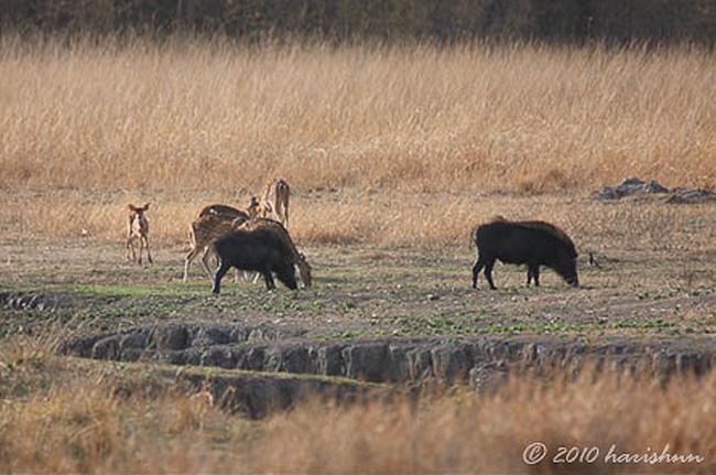 Trong khi đó, đàn hươu sao vẫn thẩn thơ gặm cỏ mà không hay biết nguy hiểm đang rình rập.