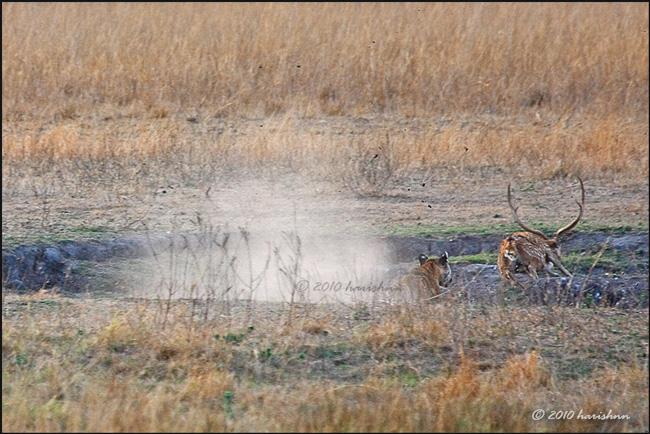 Và hổ dùng sức mạnh, tốc độ đuổi theo con mồi.