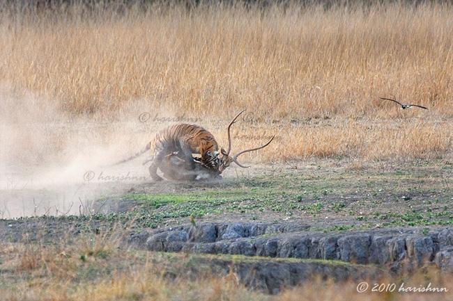 Hổ thường cắn chặt vào họng con mồi để chúng chết nhanh hơn.