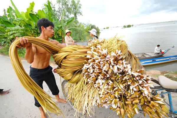 Bông súng là loài cây dại mọc nơi ao hồ hoặc ở những thửa ruộng thấp vào mùa nước nổi ở miền Tây.