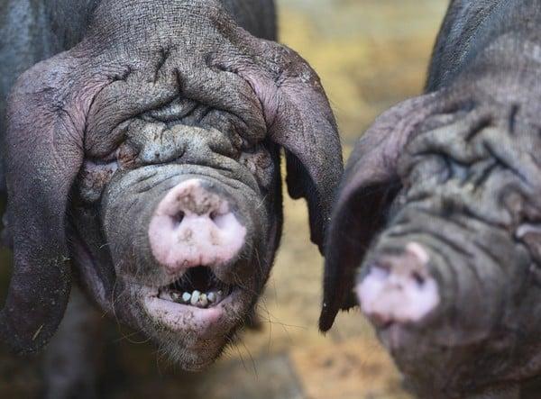 Không mang làn da trắng hồng ưa nhìn như phần lớn những giống lợn khác, lợn Meishan (lợn mặt nhăn) thường không gây được thiện cảm ngay từ cái nhìn đầu tiên vì ngoại hình quá xấu xí của mình.