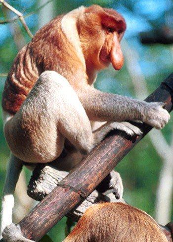 Khỉ vòi sống chủ yếu ở các hòn đảo ở Đông Nam Á.