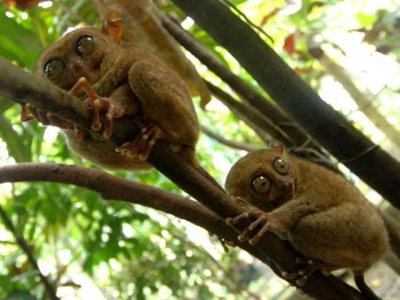 Không chỉ thuộc nhóm xấu xí nhất, khỉ lùn Tarsier còn đứng đầu danh sách linh trưởng nhỏ và hiếm nhất hành tinh.