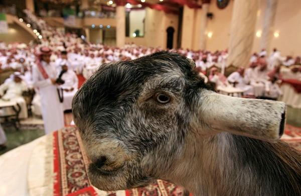 Chẳng hiểu sao loài Dê mũi khoằm này lại được coi là đẹp ở Ả-Rập và Li-Băng nữa.