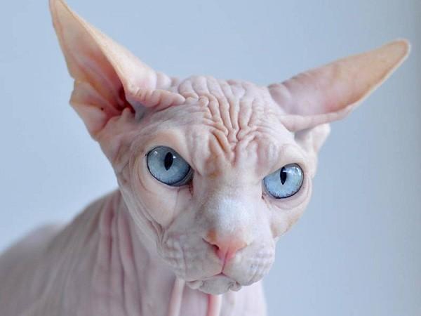 Mèo không lông, lúc nào chúng cũng trong bộ dạng tức giận.