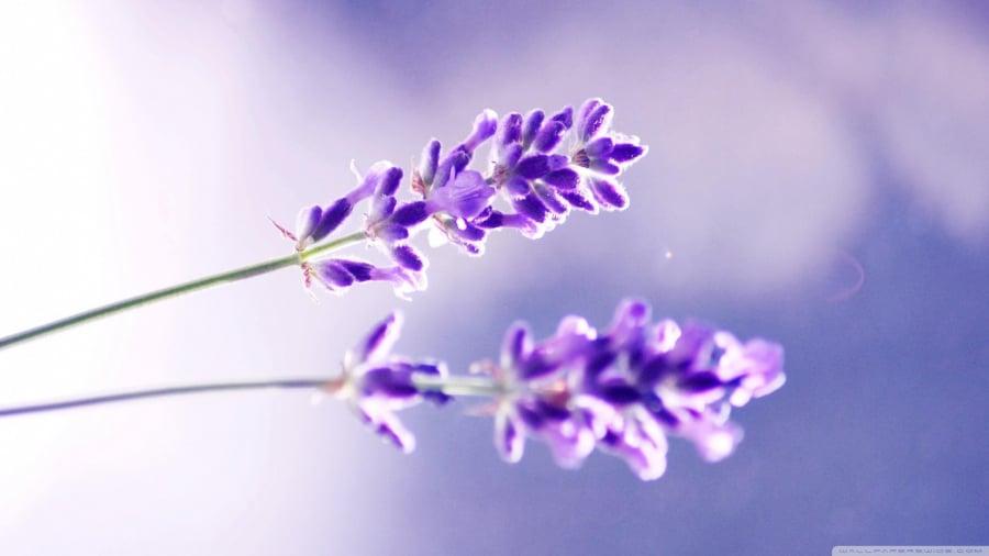 News-Lavender-hoa-oai-huong-va-sac-tim-thuy-chung-02