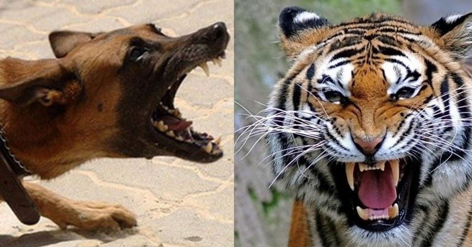 Hổ bố gặp chó điên liền tránh mặt, hổ con hỏi tại sao và câu trả lời khiến chúng ta phải suy ngẫm