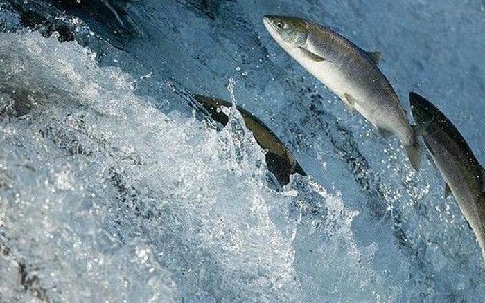 Cá sống khi bơi ngược dòng, thuận nước trôi xuôi là cá chết, cuộc sống có thực sự mệt mỏi?