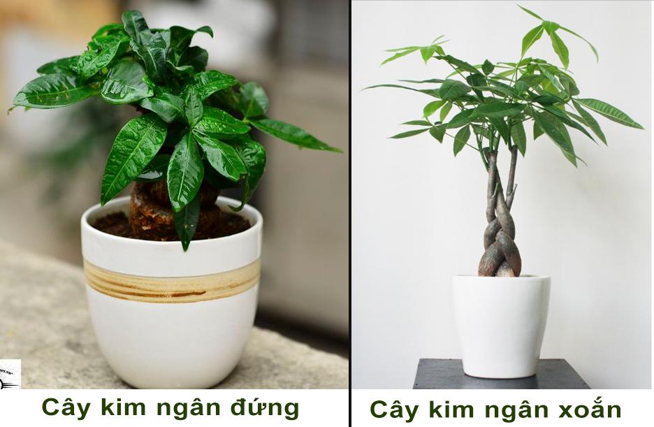cay-kim-ngan