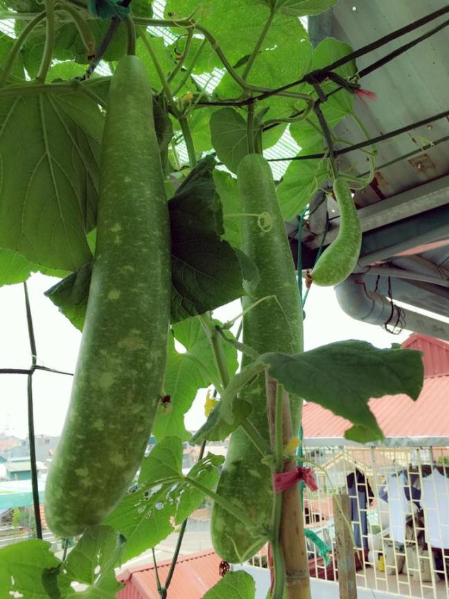 Bất ngờ với vườn rau trên sân thượng tự trồng của các mẹ phố 11