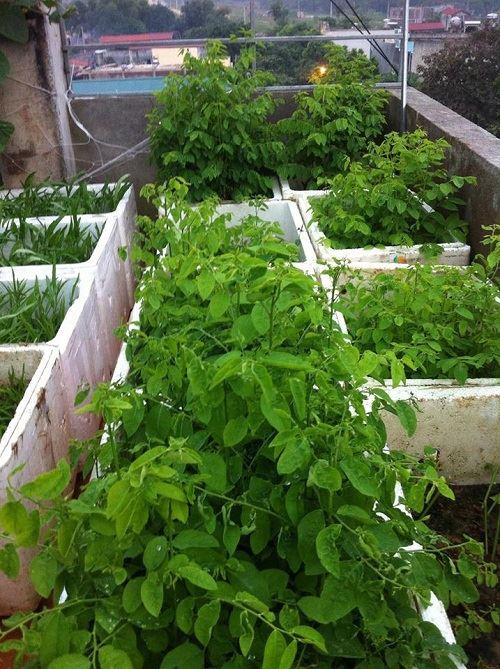 Bất ngờ với vườn rau trên sân thượng tự trồng của các mẹ phố 2
