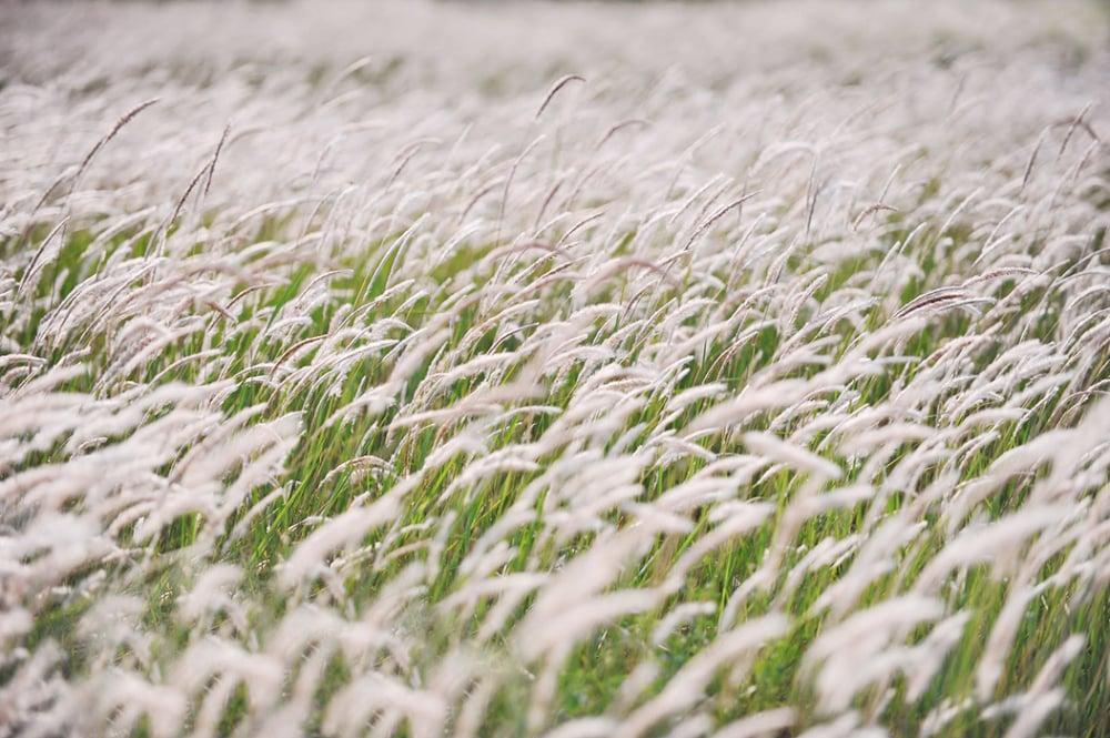 Lạc bước vào những cánh đồng cỏ lau ngút ngàn trong gió ở Hà Nội