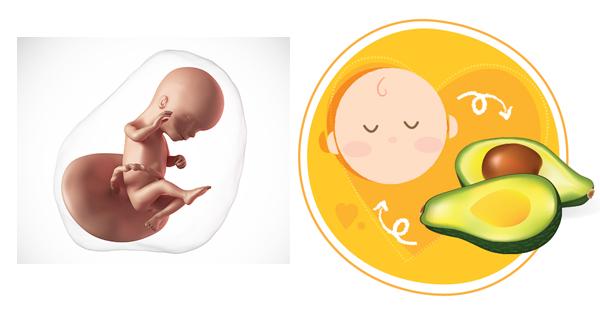Sự phát triển của thai nhi trong tuần thứ 15