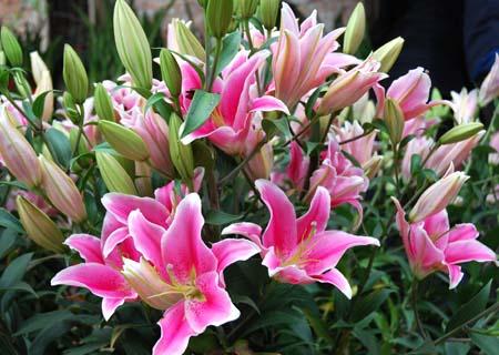 hoa li