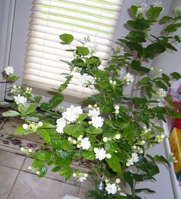 hoa nhài