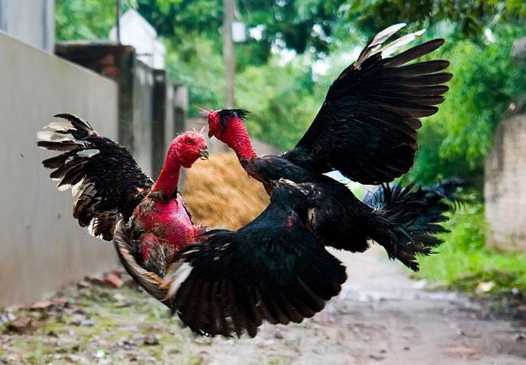 Cách nuôi gà chọi nhanh lớn cho người mới chơi gà chọi