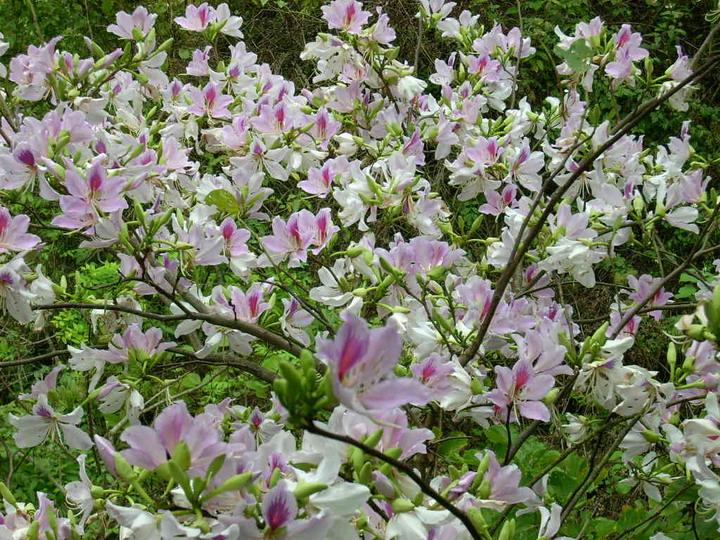 Kết quả hình ảnh cho hoa ban tây bắc