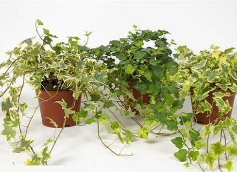 12 loại cây nên trồng để rước may mắn và tài lộc vào nhà