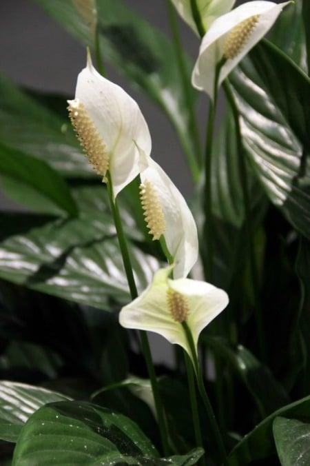 Là một loại cây ưa bóng và không khí mát mẻ, Lan Ý rất phù hợp với điều kiện trong nhà